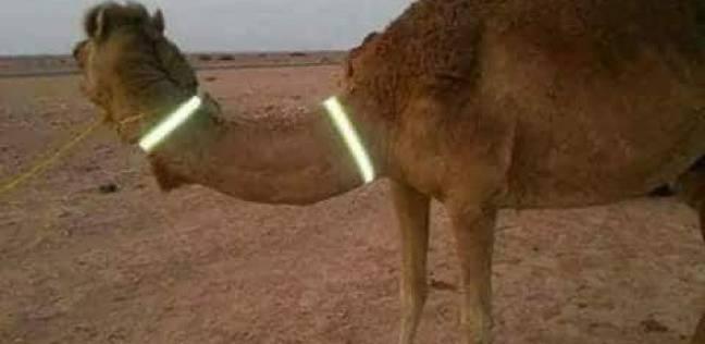 «الجمال الضالة» تحصد أرواح المواطنين على طرق جنوب سيناء