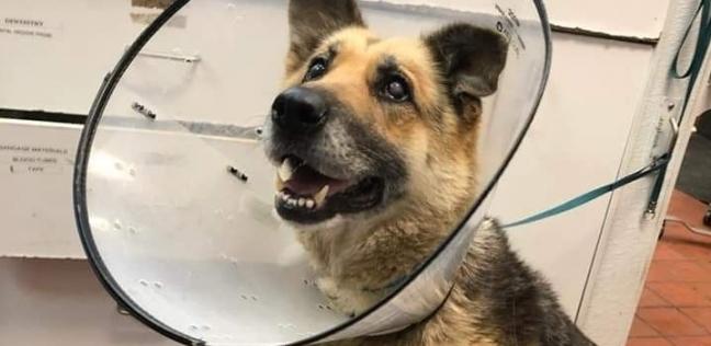 """الكلبة """"زوي"""" يعد اجراء عملية بتر للجزء المتبقي من ساقها الأمامية اليسرى"""
