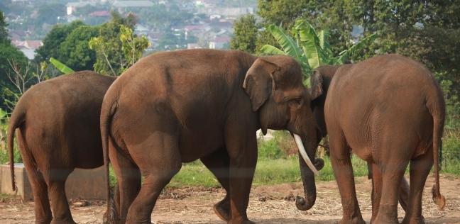 أنثى فيل تعلم ابنها المشي