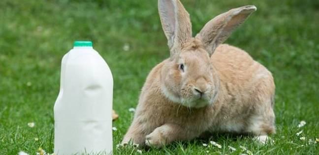 """""""الفلاحين"""" ترفض تصدير علف الأرانب إلى الإمارات"""