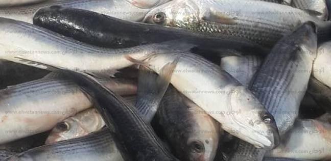 إنتاج السمك البلطي
