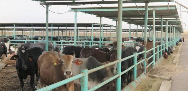 بيطري الوادي الجديد ينتهي من ترقيم وتحصين 1838 رأس ماشية ضد البروسيلا