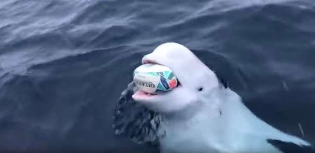حوت البيلوجا Beluga whale