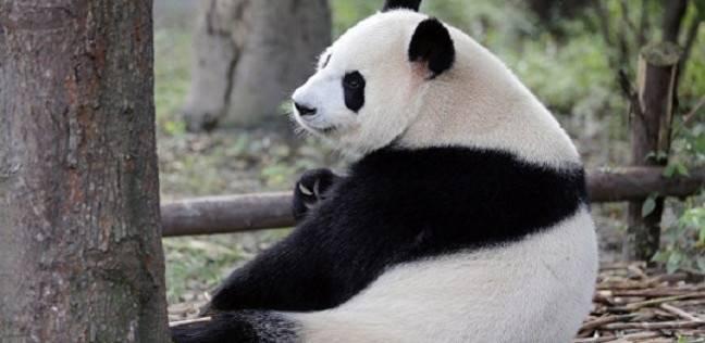 العقد النهائي هذا الأسبوع.. اليابان تريد تأجير حيوان الباندا من الصين