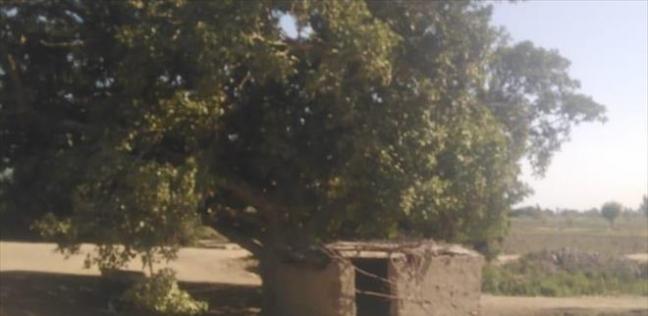 شجرة الجميزة عمرها 125 عاما