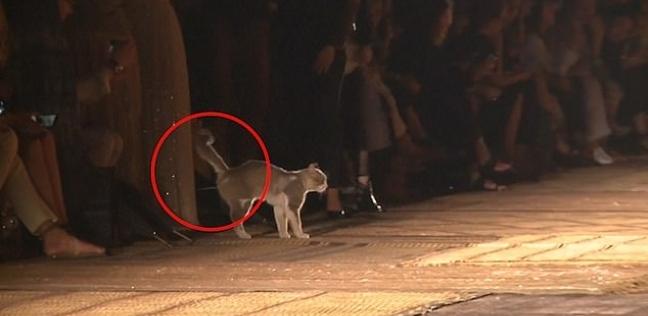 قطة تتبول أثناء عرض أزياء Dior بمراكش