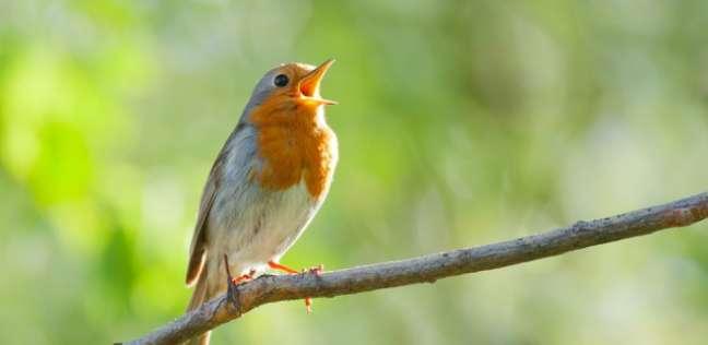 لماذا تغرد العصافير في الصباح الباكر؟