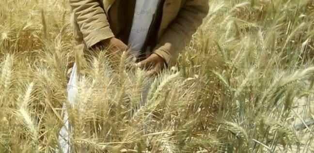 """وكيل """"المنوفية"""": زراعة 84 ألفا و500 فدان قمح بنسبة 67% من المستهدف"""