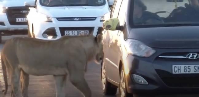 | أسد يحاول فتح سيارة سائحة