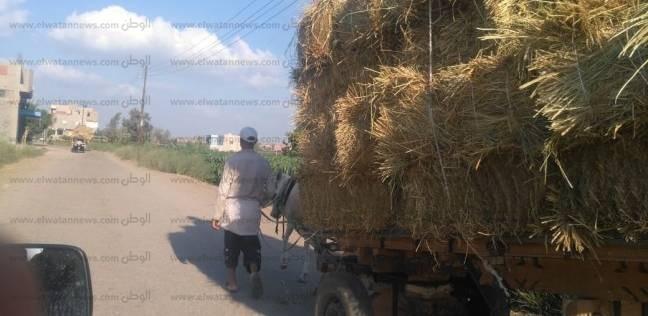 فلاحون يوضحون خطتهم لفرم قش الأرز: علف أرخص سعرا