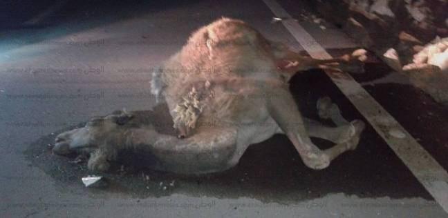 """إصابة سائق ونفوق 4 جمال في حادثاصطدام سيارة على طريق """"الضبعة - 6 أكتوبر"""""""