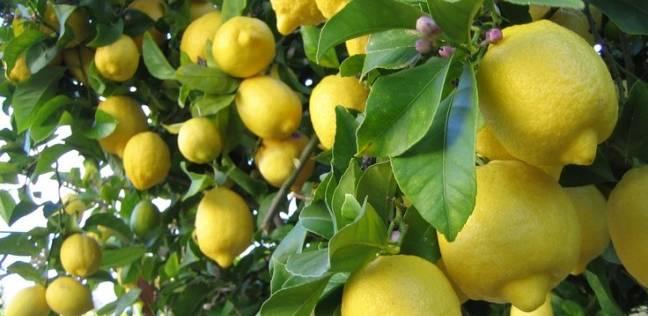 """نقابة الفلاحين تكشف سبب """"جنون الليمون"""": نظام التصويم"""