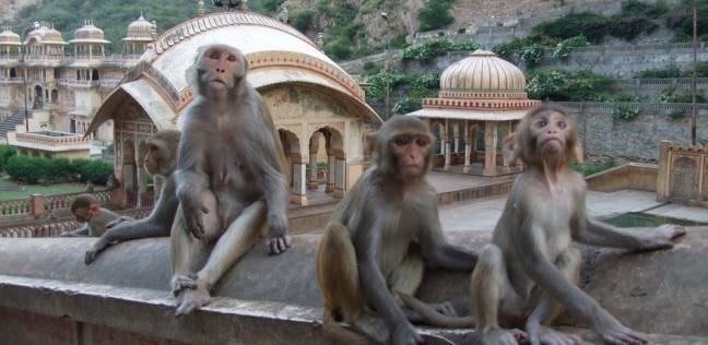 مرض غامض يقتل القرود في الهند