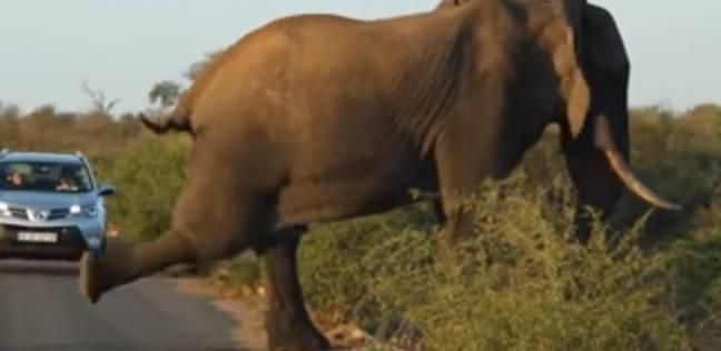 """فيل طريف يوقف طريق سريع ليمارس رياضة """"اليوجا"""""""