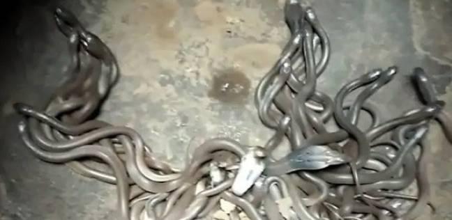 بالفيديو| عائلة تعثر على 111 فرخ أفعى كوبرا داخل منزلها