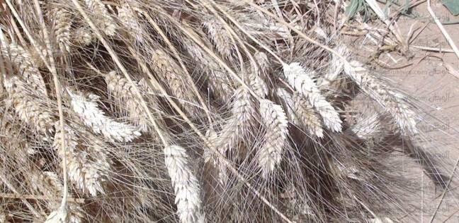 محافظ الفيوم يشهد موسم حصاد القمح في إطسا الأربعاء