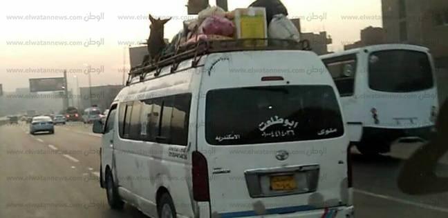 """ضبط سائق وضع """"حمار"""" أعلى السيارة في المنيا"""