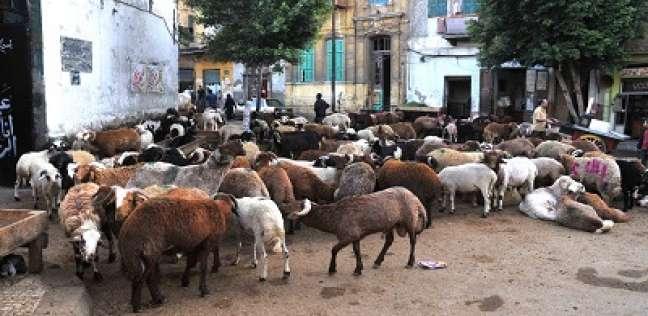 الأمراض والركود يضربان سوق الماشية قبل العيد