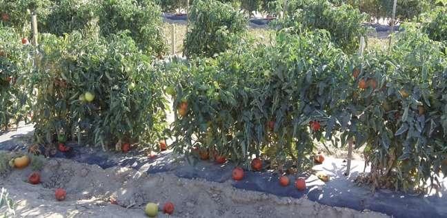 مزارعو الطماطم في النوبارية يطالبون شركة بذور بتعويضهم عن خسائرهم