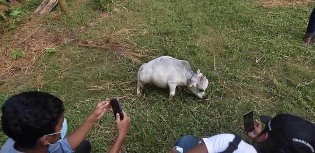 البقرة أغرب بقرة في العالم