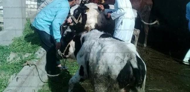 """""""بيطري البحيرة"""": بدء تحصين نصف مليون رأس ماشية السبت المقبل"""