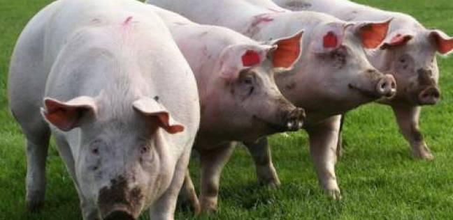 الصين تعلن اكتشاف بؤرة جديدة لحمى الخنازير الإفريقية