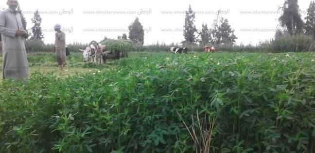 زراعة 71 ألف فدان بمحاصيل برسيم وكتان وفول في كفر الشيخ
