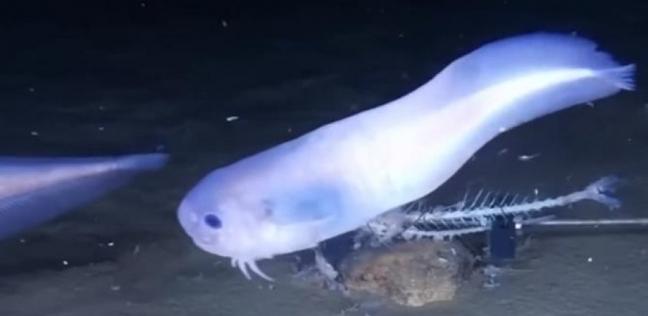 اكتشاف أسماك عجيبة يمكن أن تذوب إذا خرجت من الماء