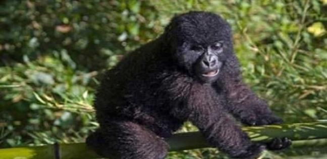 حفريات عمرها 11 مليون عام تحل لغز تشابه القرود مع البشر