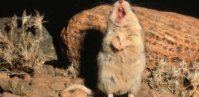الفأر المفترس