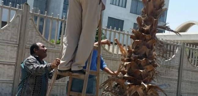حي شرق بالإسكندرية يستكمل أعمال تقليم وتزين الأشجار والنخيل