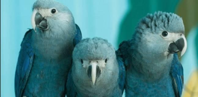 ببغاء مكاو من الطيور المنقرضة