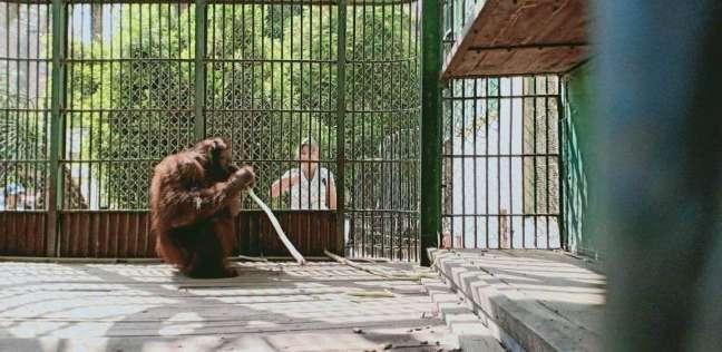 القرد يأكل القصب في حديقة الحيوان