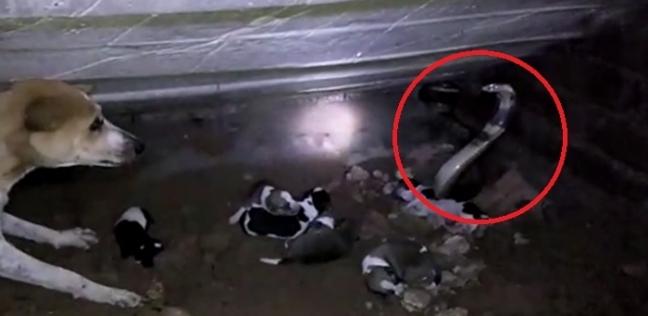 بالفيديو| كوبرا تهاجم كلبة وأطفالها وتحاول التهامهم جميعا