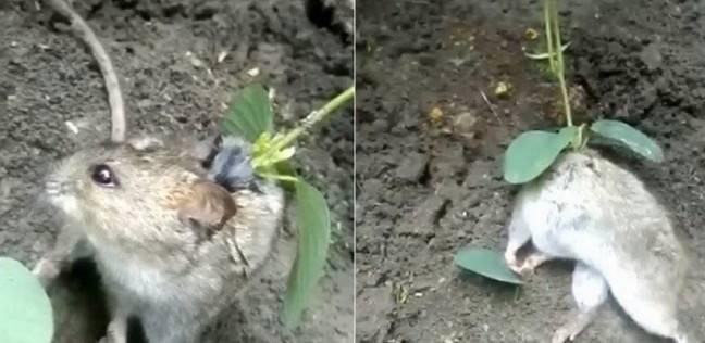 لقطات عجيبة لنبتة تنمو على ظهر فأر!