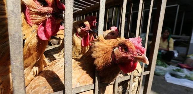 إعدام 550 دجاجة في بنها بعد ظهور بؤرة أنفلونزا الطيور