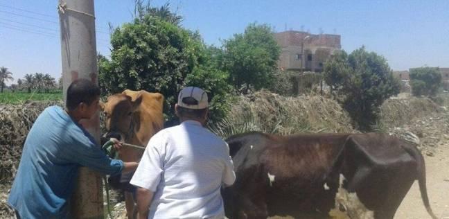 """تواصل أعمال تحصين الأبقار المصابة بـ""""الجلد العقدي"""" في المنيا"""