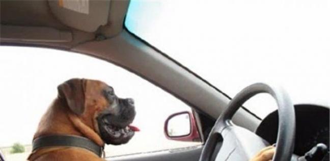 كلب يقود سيارة