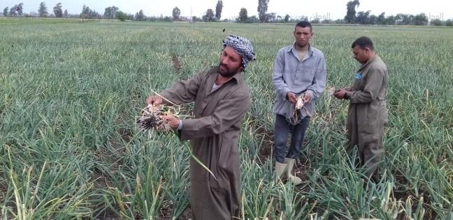 """تدمر مساحات كبيرة من """"البصل"""" في الدقهلية.. ومزارعون"""" المبيد فاسد"""