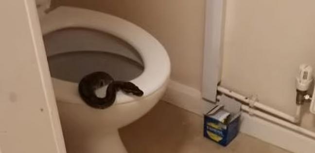 ثعبان يصدم سيدة بالخروج من المرحاض قبل جلوسها