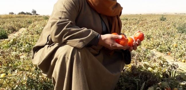 نقيب الفلاحين: «الزراعة» سبب جنون أسعار الطماطم
