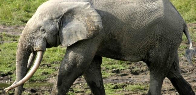 فيل - أرشيفية