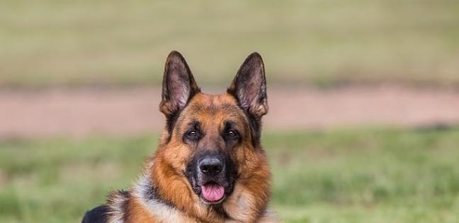 الكلب المصاب من نوع الراعي الألماني
