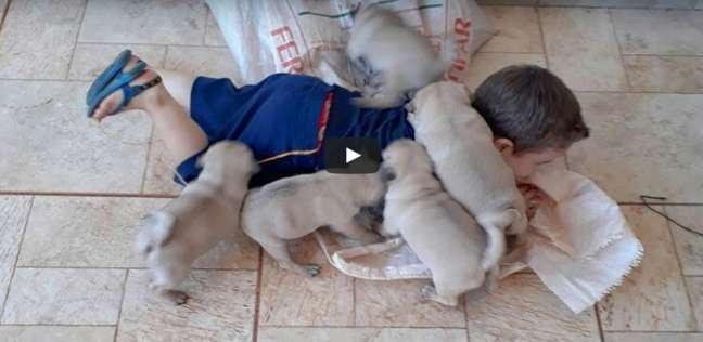 بالفيديو  طفل يلهو مع خمسة كلاب صغيرة.. لن تتوقف عن الضحك