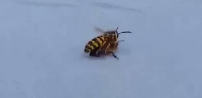 المعركة بين الدبور والنحلة