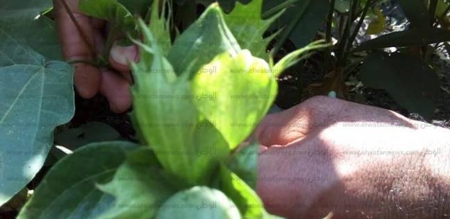 """""""الزراعة"""": محصول القطن المنزرع في بني سويف مبشر"""