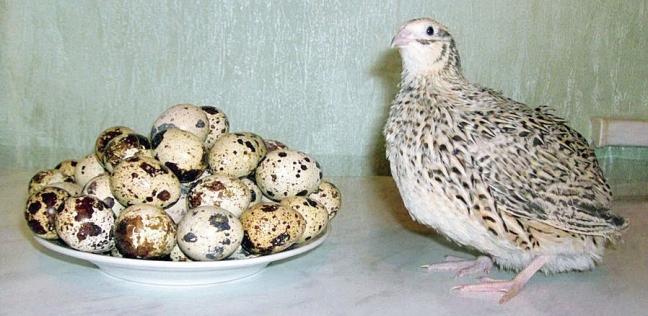 بيض السمان مفيد للأطفال ومرضى القلب والضغط