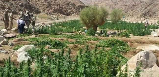 القبض على شخص زرع البانجو المخدر بحديقة منزله