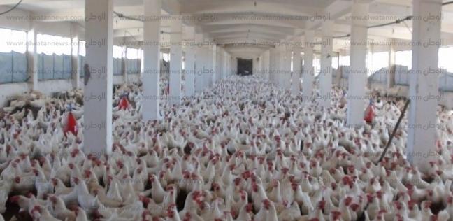 """""""الزراعة"""" تطرح دواجن وبيض بسعر مدعم للمواطنين في الطور"""