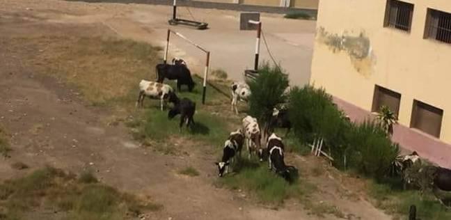 """أبقار ترعى داخل مدرسة بكفر شكر.. و""""التعليم"""": تهذب الحشائش"""